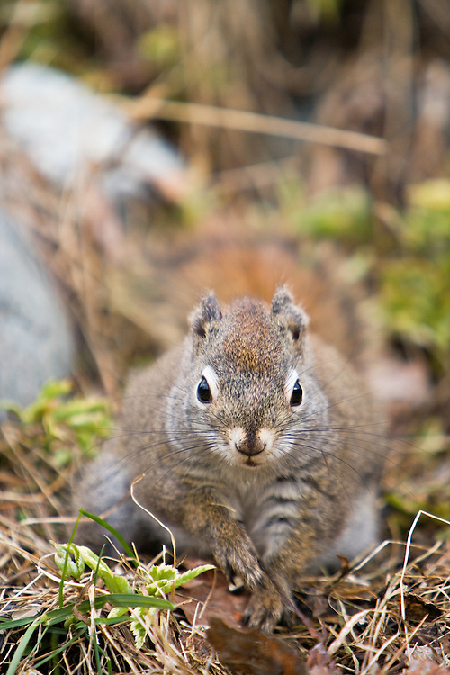 Head on view of Red Squirrel in Chugach State Park, Eagle River in Southcentral Alaska. Spring. Afternoon.