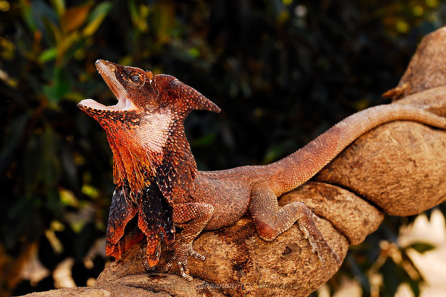 Frilled Lizard (Chlamydosaurus kingii) in a defensive posture.  Also known as the Frilled Neck Dragon,  native to Australia.