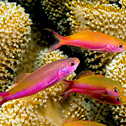 Magenta Slender Anthias inhabit reefs, often in large schools. Picture taken Fiji.