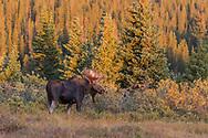 Bull Moose in the morning light