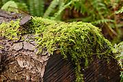 Oregon Beacked Moss