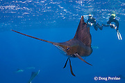 Atlantic sailfish, Istiophorus albicans, and underwater photographers, off Yucatan Peninsula, Mexico ( Caribbean Sea ); MR 402, 403