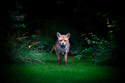 Red fox (vulpes vulpes) in a suburban garden, Leicester, England, UK.