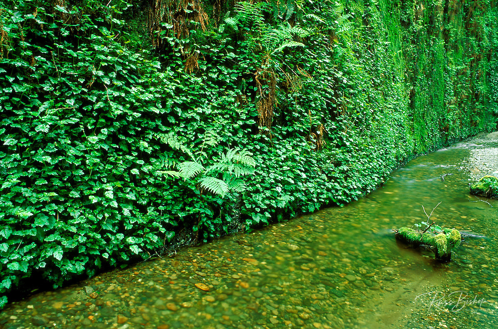 Creek and hanging ferns in Fern Canyon, Prairie Creek Redwoods State Park, California