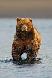 North American brown bear /  coastal grizzly bear (Ursus arctos horribilis) sow fishes in Silver Salmon Creek, Lake Clark National Park, Alaska, United States of America