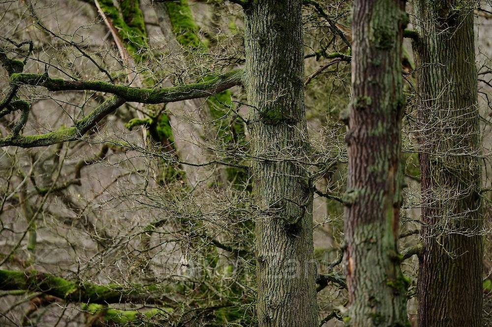 Oaks in the woodland Kellerwald. The Kellerwald lies in northern Hesse, Germany