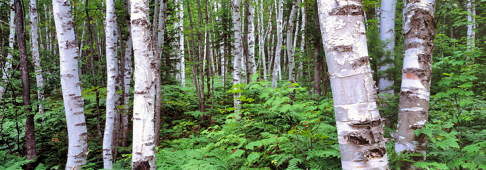 Birch trees in Pictured Rocks National Lakeshore, Upper Peninsula, Michigan.