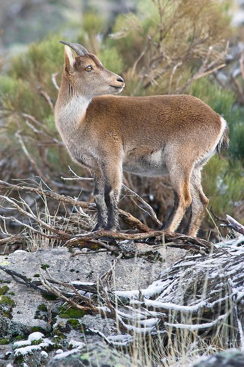 EN. Spanish Ibex (Capra pyrenaica). Female standing on boulder. Sierra de Gredos, Avila, Spain.<br /> ES. Cabra mont&eacute;s (Capra pyrenaica) sobre roca. Sierra de Gredos, Avila, Espa&ntilde;a.