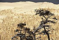 Eurasian jay (Garrulus glandarius), Flatanger, Norway.