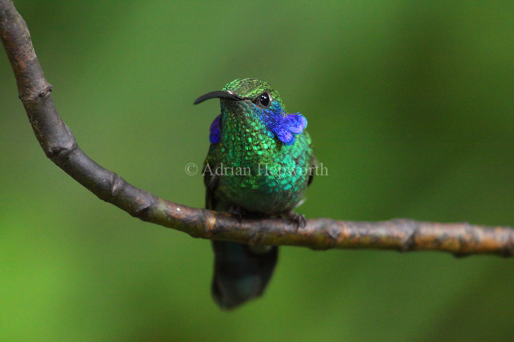 Male Green Violet-ear Hummingbird (Colibri thalassinus). Monteverde Cloud Forest Preserve, Costa Rica. <br />