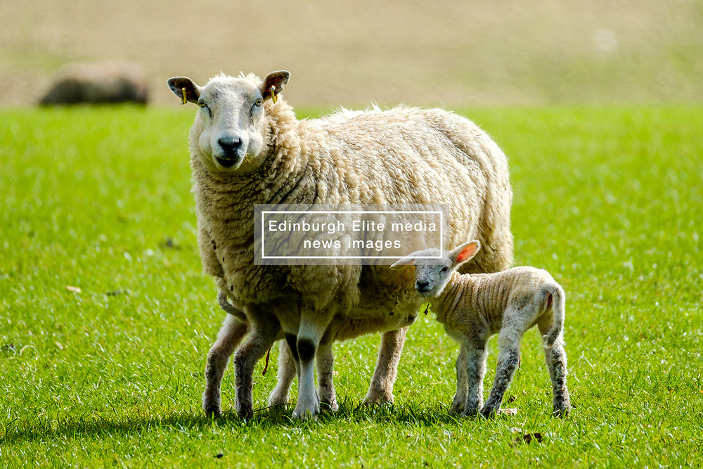 Young lambs feeding from their mum on a farm in the Scottish borders<br /> <br /> (c) Andrew Wilson | Edinburgh Elite media