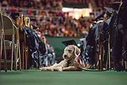 Elyssia, an ADA service dog, attend fall commencement. Photo by Ben Siegel