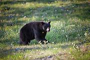 Female Black Bear, Whistler, British Columbia, Canada,