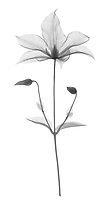 X-ray image of a 'Jackmanii' clematis (Clematis 'Jackmanii', black on white) by Jim Wehtje, specialist in x-ray art and design images.