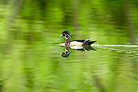 A male Wood Duck swims in a tree lined farm pond it is the month of May and nesting season is in full swing.