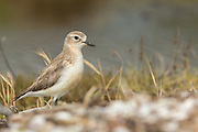 The distinctive 'chip-chip' call of the New Zealand Dotterel is often heard before it is seen.