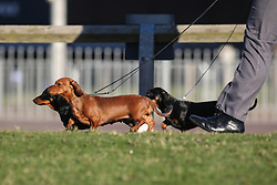 © Licensed to London News Pictures. 09/03/2017. Birmingham, UK. A trio of miniature dachshunds arrive at the 126th annual Crufts dog show at the NEC in Birmingham, West Midlands. The show is organised by the Kennel Club and is the biggest of it's kind in the world.  Photo credit : Ian Hinchliffe/LNP