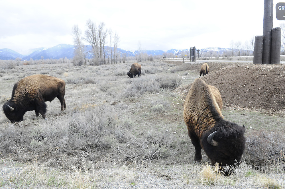 Bison grazing at Gros Ventre Junction in Grand Teton National Park.