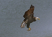An immature Bald eagle carries away a crab dinner from the Everett waterfront. (Mark Harrison, The Seattle Times, 2001)