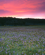 THIS PHOTO IS AVAILABLE FOR WEB DOWNLOAD ONLY. PLEASE CONTACT US FOR A LARGER PHOTO. Idaho. Idaho's Owyhee, Canyonlands Wilderness Study Area. Sunrise over meadow of Camas Lilies (Camassia quamash)