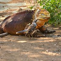 Santa Cruz Land Iguana and Galapagos Mockingbird