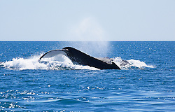 Two humpback whale bulls fight just off Willie Creek to the north of Broome.