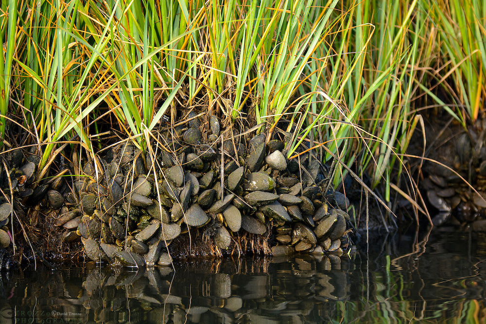Mussels attached to the shoreline, Assawoman Bay, Delaware, USA.