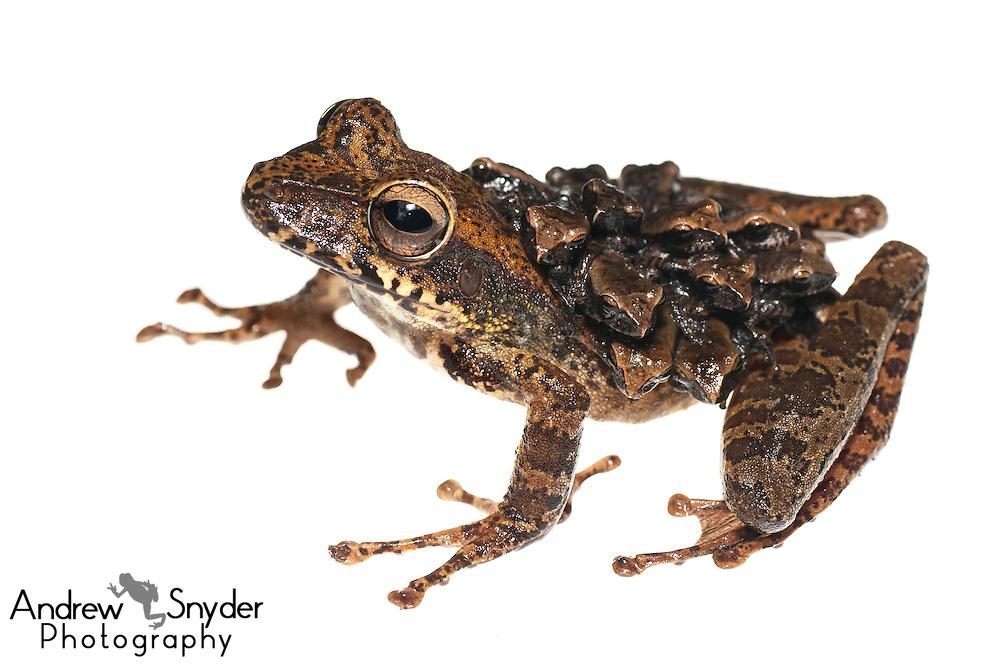 Groete Creek Carrying Frog (Stefania evansi) - Chenapau, Guyana