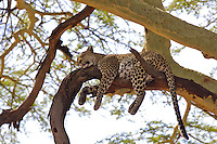 Leopard (Panthera pardus) sound asleep in a acacia tree, Serengeti