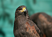 Close up of a Harris Hawk tilting it's head, listening as well as watching.