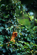 Golden Lion Tamarins are omnivorous and on their search for fruits they dexterously climb into the high canopy of the rainforest. | Löwenäffchen sind Allesfresser, die auf ihrer Suche nach Früchten geschickt bis in die oberen Stockwerke des Urwaldes klettern.