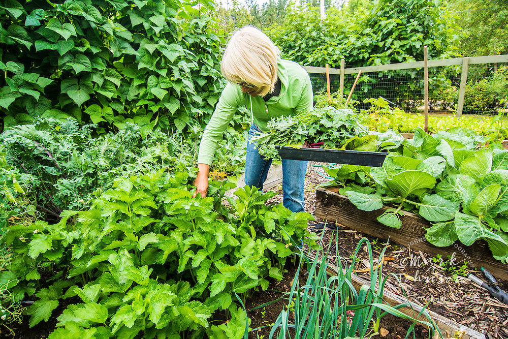 Woman harvesting vegetables from her garden, Astoria, Oregon, USA