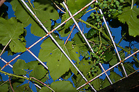 Looking up through the vine leaves and grapes of the grape arbor to the blue sky beyond.