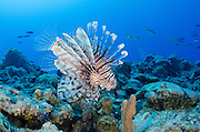 Red Lionfish (Pterois volitans)<br /> Jardines de la Reina National Park<br /> CUBA, Caribbean<br /> INVASIVE SPECIES off east coast of USA, South America and Caribbean