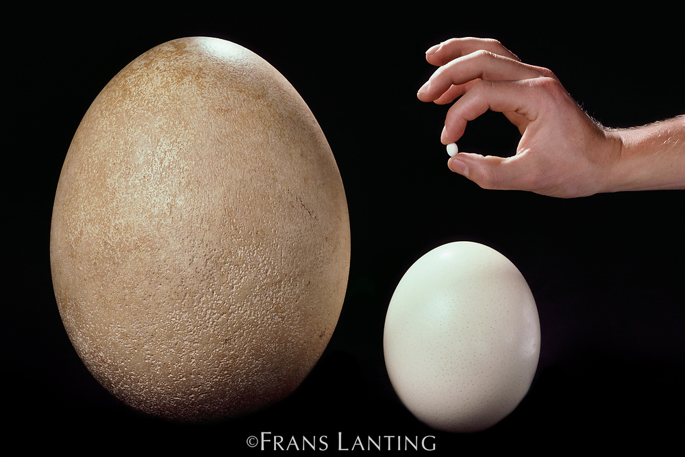 Hummingbird egg, ostrich egg and extinct elephant bird egg, Western Foundation of Vertebrate Zoology, Los Angeles California, USA