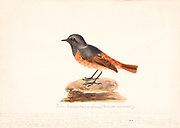 The black redstart (Phoenicurus ochruros) is a small passerine bird in the redstart genus Phoenicurus. Like its relatives, it was formerly classed as a member of the thrush family (Turdidae), but is now known to be an Old World flycatcher (Muscicapidae). Other common names are Tithy's redstart, blackstart and black redtail. 18th century watercolor painting by Elizabeth Gwillim. Lady Elizabeth Symonds Gwillim (21 April 1763 – 21 December 1807) was an artist married to Sir Henry Gwillim, Puisne Judge at the Madras high court until 1808. Lady Gwillim painted a series of about 200 watercolours of Indian birds. Produced about 20 years before John James Audubon, her work has been acclaimed for its accuracy and natural postures as they were drawn from observations of the birds in life. She also painted fishes and flowers. McGill University Library and Archives