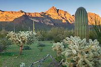 Saguaro and Chain-Fruit Cholla Cactus, Organ Pipe Cactus National Monument Arizona