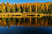 Yaak River and western larch in fall. Yaak Valley Montana