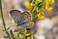 Plebejus lupini monticola - Monticola Blue