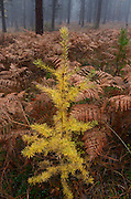 Western larch sapling in fall. Yaak Valley Montana