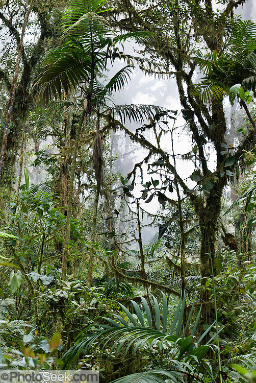 Verdant vegetation of Bellavista Cloud Forest Reserve, near Quito, Ecuador, South America.