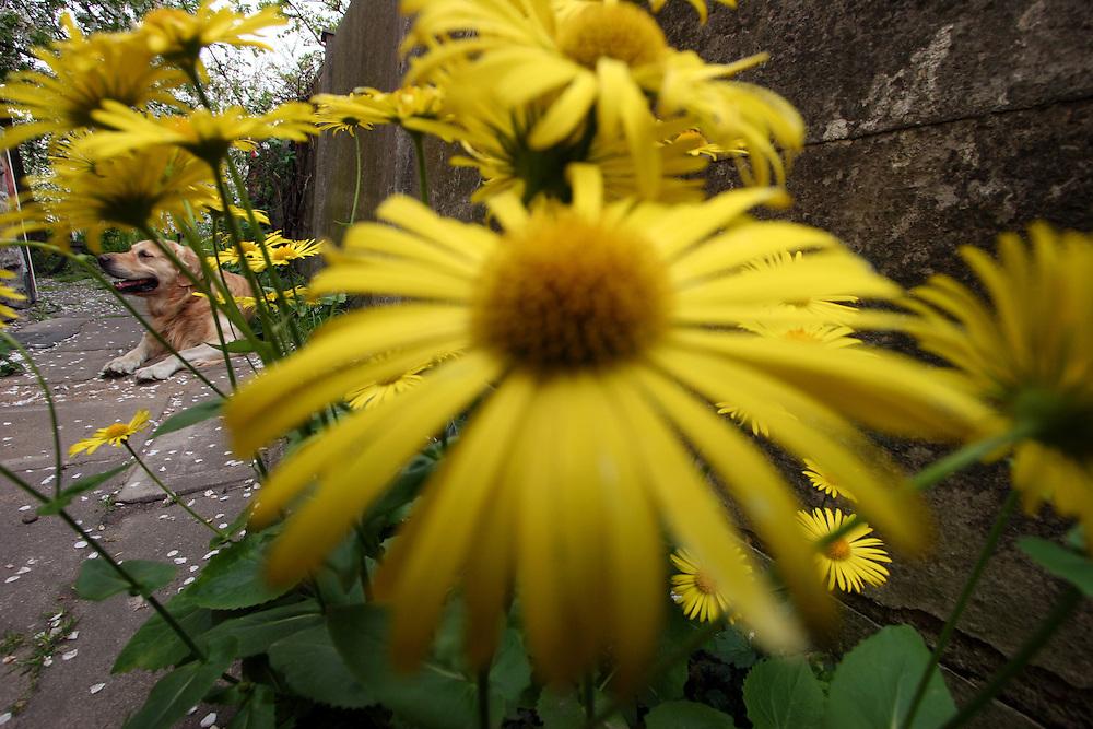 Golden Retriever Lemmy mit gelben Blumen als Hippie Hund. Der Golden Retriever ist ein intelligenter, freudig arbeitender Hund, dem auch extreme, nasskalte Witterungsbedingungen nichts ausmachen. Dem steht allerdings eine relativ starke Empfindlichkeit hinsichtlich hoher Temperaturen gegen&uuml;ber. Grunds&auml;tzlich ist die Rasse ruhig, geduldig, aufmerksam und niemals aggressiv.<br /> <br /> Golden Retriever Lemmy surrounded with yellow flowers as a Hippie.