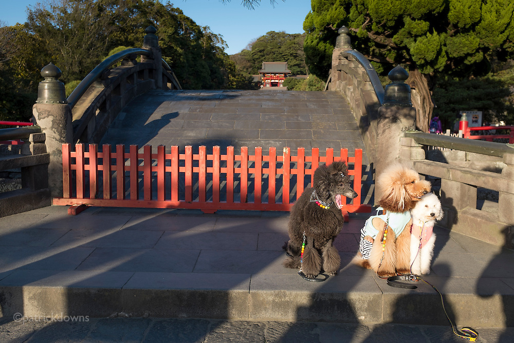 A group of local poodle owners brought their well-dressed dogs to the temple to photograph them.