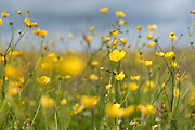 The fields of Buttercups at the Hill of White Hamars can be so dense that if you lie down and look up it's like being in a forest of flowers.