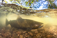 Chinook Salmon<br />