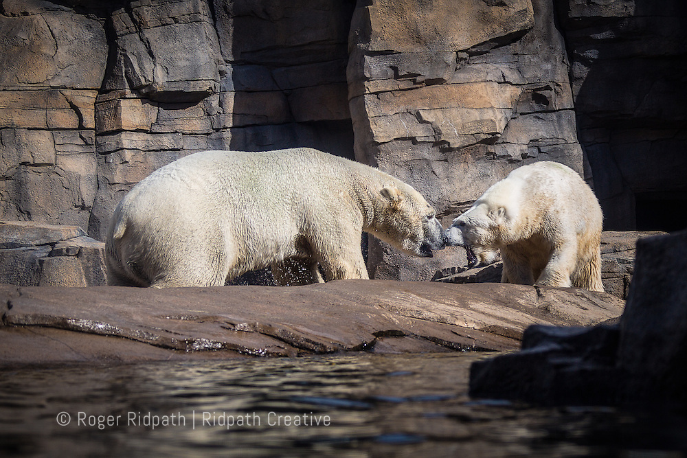 Polar Bears fighting at Kansas City Zoo