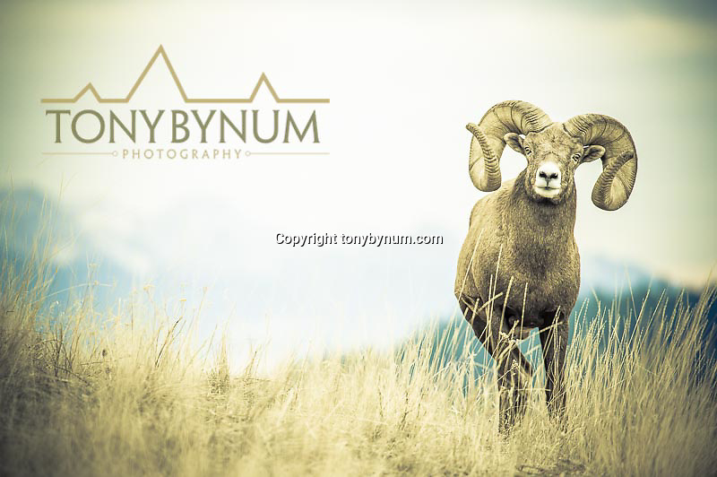 mature bighorn sheep ram in the grass with mountain background