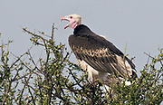 White-headed Vulture, Trigonoceps occipitalis, from Maasai Mara, Kenya. Do note the amount of mosquitos around the vulture's head.