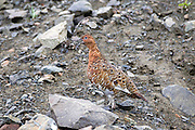 Willow Ptarmigan Vocalizing in Summer Habitat