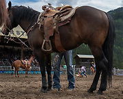 Calf roping competition during the 101st Falkland Stampede in Falkland, BC.  (2019)